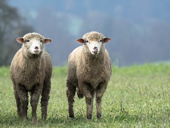 Clonagem Ovelha Dolly
