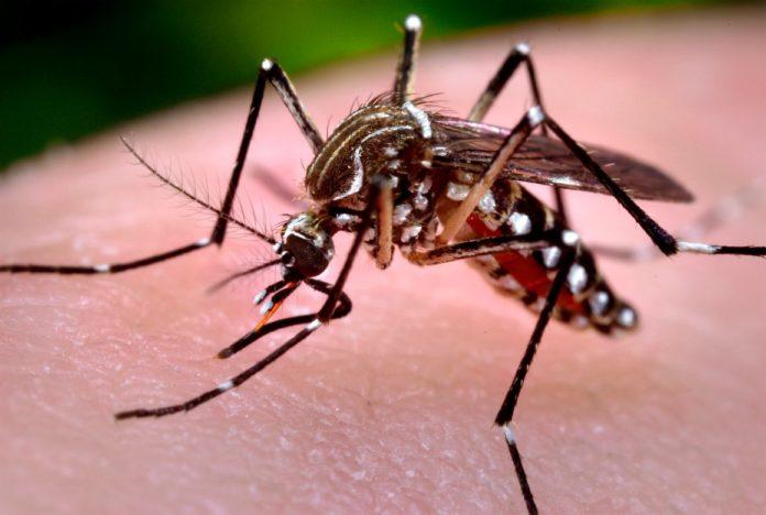 Aedes aegypti, que transmite dengue, chikungunya e zika