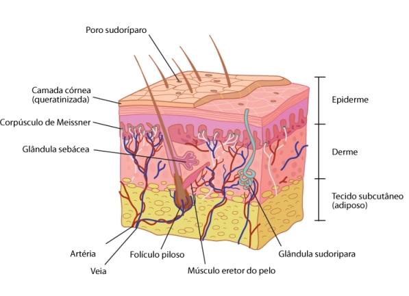 Corte Transversal Pele