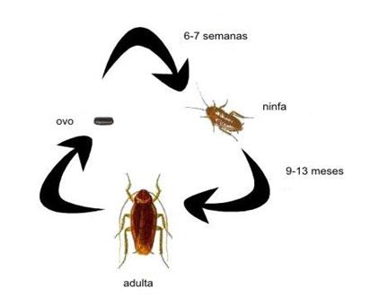 artropodes_barata_ciclo_de_vida