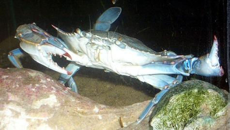 artropodes_crustaceos_siri_azul